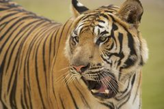 Vuxen Indochinese tiger Arkivbild