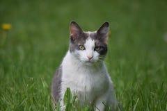 Vuxen katt i fält Royaltyfria Foton
