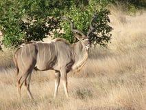 Kudu tjur Fotografering för Bildbyråer