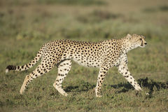 Vuxen kvinnlig Cheetah (Acinonyxjubatusen) Tanzania Royaltyfri Fotografi