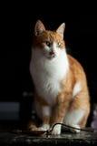 Vuxen ljust rödbrun katt Arkivbild