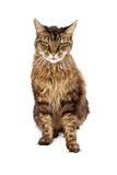 Vuxen människa Cat Sitting Angry Expression Royaltyfri Fotografi