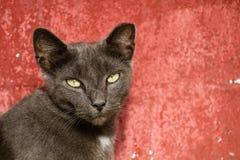Vuxen människa Gray Cat Sitting Against en röd bakgrund Royaltyfri Fotografi