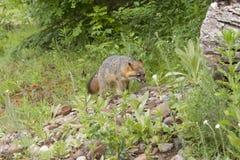 Vuxen människa Grey Fox Arkivfoto