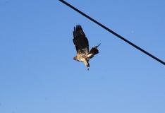 Vuxen människa Hawk Takes Flight Arkivbild