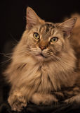 Vuxen människa Maine Coon Cat Royaltyfria Bilder