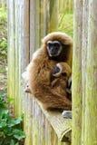 Vuxen människa och barn Lar Gibbon Arkivbild