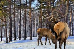 Vuxen människa och små röda deers (Cervuselaphussibiricusen) Royaltyfria Bilder