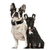 Vuxen människa och valp för fransk bulldogg som bort ser, 3 gamla månader Royaltyfria Foton