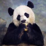 Vuxen människa Panda Bear Eating Arkivfoton