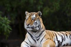 Vuxen människa Sumatran Tiger Lying på dess sida royaltyfri fotografi