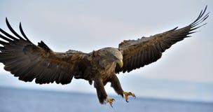 Vuxen människa vit-tailed örn i flykten blå sky för bakgrund royaltyfri foto