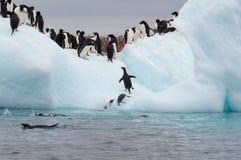Vuxen människaadele pingvin som grupperas på isberget Arkivbild