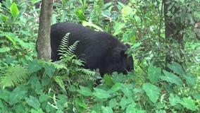 Vuxen människaFormosa en svart björn som går för skogen på en varm sommar för dag stock video