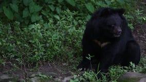 Vuxen människaFormosa vaggar den svarta björnen att sitta på i skogen på en varm sommar för dag arkivfilmer