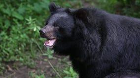 Vuxen människaFormosa vaggar den svarta björnen att sitta på i skogen på en varm sommar för dag lager videofilmer