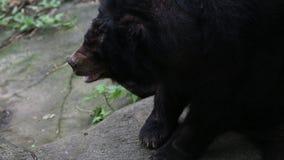 Vuxen människaFormosa vaggar den svarta björnen att sitta på i skogen på en varm sommar för dag stock video