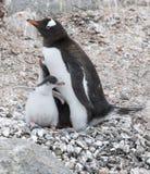 Vuxen människaGentoo pingvin med fågelungen Royaltyfria Bilder