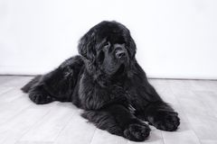 Vuxen människaNewfoundland hund royaltyfria foton