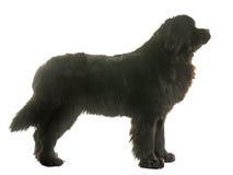 Vuxen människaNewfoundland hund Royaltyfria Bilder