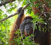 vuxen male orangutan Arkivfoton