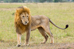 Vuxen man Lion In Prime av liv Royaltyfri Fotografi