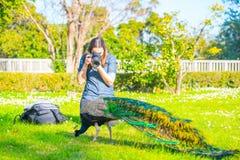 Vuxen manlig påfågel i en sommarträdgård arkivbilder