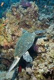 vuxen matande hawksbillmanligsköldpadda Royaltyfri Bild
