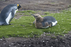 Vuxen människa- och fågelungekonung Penguins på volontärpunkt, Falkland Islan Royaltyfri Fotografi