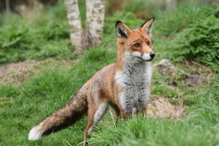 Vuxen röd brittisk räv Arkivfoto