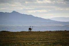 Vuxen ren på svensk tundra royaltyfri fotografi