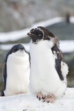 Vuxen rugga Adelie pingvin och barnet Fotografering för Bildbyråer