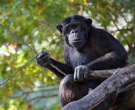 vuxen schimpansstående Arkivfoton