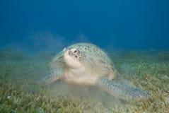 vuxen sköldpadda för kvinnliggreenseagrass Arkivfoto