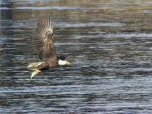 Vuxen skallig örn med fisken Arkivfoto