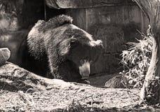 Vuxen stor asiatisk svart björn som laddar ut ur grottan Royaltyfri Bild