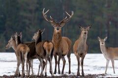 Vuxen stor hjortCervus Elaphus, hängivet djup av fokusen som omges av flocken Nobla röda hjortar som står i Belorussian skog P Arkivfoto