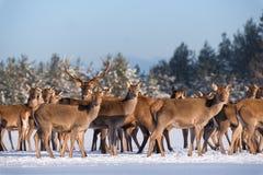 Vuxen stor hjortCervus Elaphus som omges av flocken som är upplyst vid morgonsolen Nobel Cervidae för röda hjortar i vinter Ståen arkivfoton