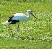 Vuxen stork Arkivfoto