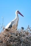 Vuxen stork med behandla som ett barn på redet Arkivfoton