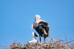 Vuxen stork med behandla som ett barn på redet Arkivbilder