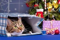 Vuxen strimmig katt Arkivbilder