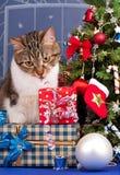 Vuxen strimmig katt Royaltyfria Bilder