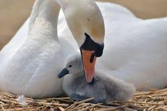 Vuxen svan som fostrar unga svanen Royaltyfria Bilder