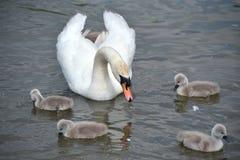 Vuxen svansimning med unga svanar, Abbotsbury Swannery Royaltyfria Bilder
