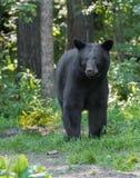 Vuxen svart björn Arkivbilder