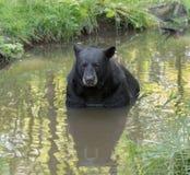 Vuxen svart björn Arkivbild