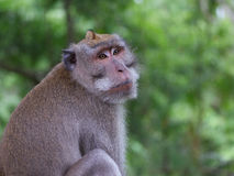 Vuxen tailed macaque för man länge Royaltyfri Bild