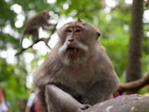Vuxen tailed macaque för man länge Royaltyfria Bilder