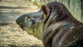 Vuxen tapir royaltyfria foton